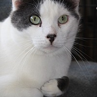 Domestic Shorthair Cat for adoption in Rawlins, Wyoming - Romeo