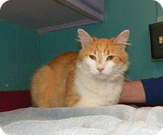 Domestic Mediumhair Cat for adoption in Dover, Ohio - Finn