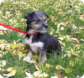 Yorkie, Yorkshire Terrier Mix Puppy for adoption in Minneapolis, Minnesota - Tippy
