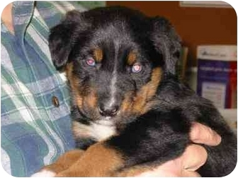 Border Collie/Rottweiler Mix Puppy for adoption in Mansfield, Ohio - Jude