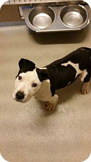 Pit Bull Terrier Mix Puppy for adoption in Wichita Falls, Texas - Jinx