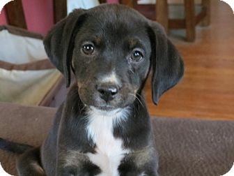 Labrador Retriever Mix Puppy for adoption in waterbury, Connecticut - Arabella