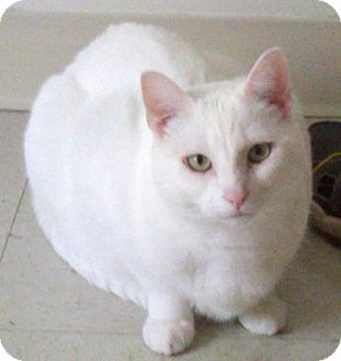 Domestic Shorthair Cat for adoption in Webster, Massachusetts - Xxyzx