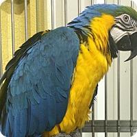 Adopt A Pet :: Nina - Burleson, TX