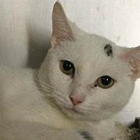 Adopt A Pet :: Snowflake - NYC, NY