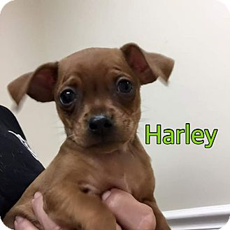 Chihuahua Mix Puppy for adoption in Ft. Lauderdale, Florida - Harley