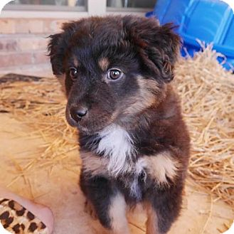 Border Collie Mix Dog for adoption in Edmond, Oklahoma - Tasha