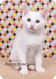 Domestic Shorthair Kitten for adoption in Sterling Heights, Michigan - Sven