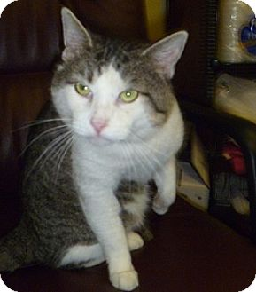 Domestic Shorthair Cat for adoption in Hamburg, New York - Tiny Tim