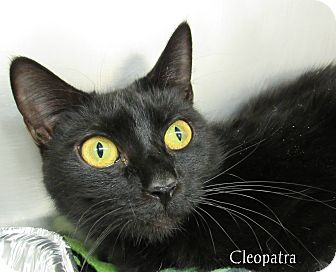 Domestic Shorthair Cat for adoption in Jackson, New Jersey - Cleopatra