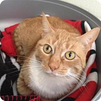 Adopt A Pet :: Sully - Cashiers, NC