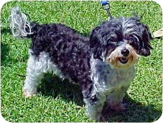 Poodle (Miniature)/Shih Tzu Mix Dog for adoption in Spring Valley, California - Cele