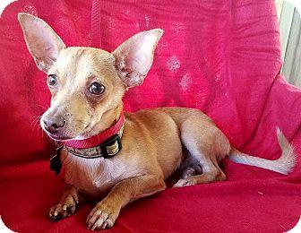 Chihuahua Mix Puppy for adoption in Hamilton, Ontario - Auto