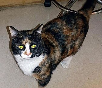 Domestic Shorthair Cat for adoption in Oxford, Connecticut - Reese