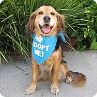 Adopt A Pet :: Ginger Spaniel - Pacific Grove, CA
