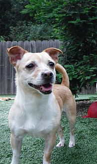 Chihuahua Mix Dog for adoption in Dublin, California - Lola