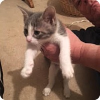 Adopt A Pet :: One Direction Kittens! - Cuyahoga Falls, OH