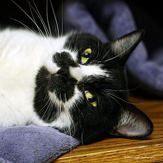 Domestic Shorthair Cat for adoption in Tucson, Arizona - Koru