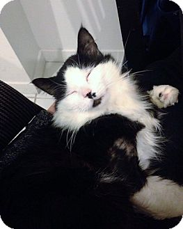 Domestic Mediumhair Cat for adoption in Vancouver, British Columbia - Toto