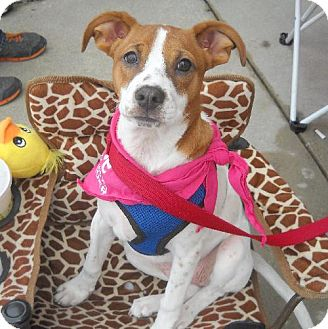 Jack Russell Terrier/Boxer Mix Puppy for adoption in Ashland, Virginia - Tessa-ADOPTED!!!