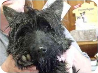 Scottie, Scottish Terrier Mix Dog for adoption in Mason City, Iowa - Simon