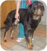 Rottweiler Dog for adoption in Oswego, Illinois - TAYLOR