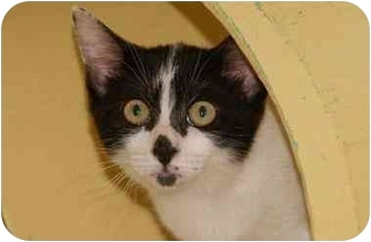 Domestic Shorthair Kitten for adoption in Englewood, Florida - Gringa