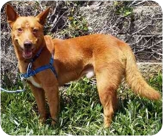 Finnish Spitz Mix Dog for adoption in Vista, California - Rusty II