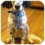Photo 2 - English Setter Dog for adoption in Troy, Michigan - Lady