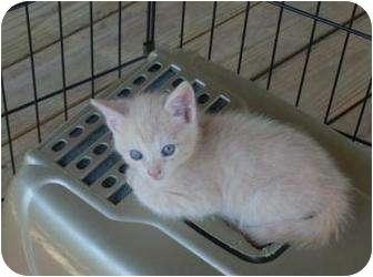 Domestic Shorthair Kitten for adoption in Denton, North Carolina - Wheezer