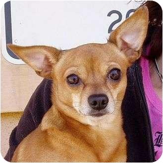 Chihuahua Dog for adoption in Berkeley, California - Charlie