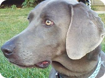 Weimaraner Dog for adoption in Spring Valley, New York - Sadie