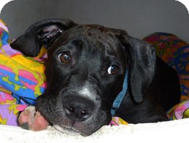 Pit Bull Terrier Mix Puppy for adoption in Carmel, New York - Randy
