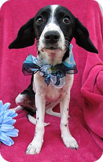 Beagle/Rat Terrier Mix Puppy for adoption in Irvine, California - Tabitha