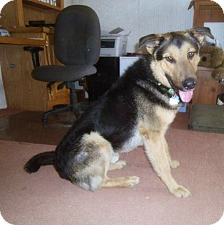 German Shepherd Dog/Airedale Terrier Mix Dog for adoption in Denver, Colorado - Barron