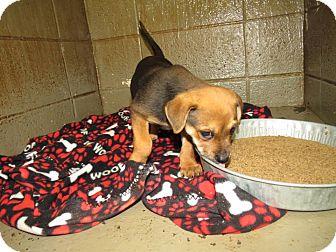 Hound (Unknown Type) Mix Puppy for adoption in Henderson, North Carolina - Balinda
