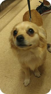Chihuahua/Terrier (Unknown Type, Small) Mix Dog for adoption in Homestead, Florida - Ms Silky - CL - Chea