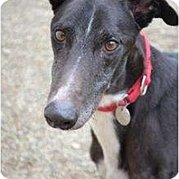 Adopt A Pet :: Rico (Risky Thunder) - Chagrin Falls, OH