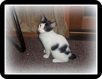 Manx Cat for adoption in Medford, Wisconsin - PEARL