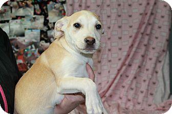 Labrador Retriever/Australian Cattle Dog Mix Puppy for adoption in Yelm, Washington - Dale