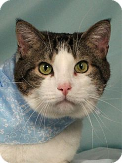 Domestic Shorthair Cat for adoption in Kerrville, Texas - Mark