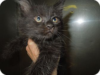 Domestic Shorthair Kitten for adoption in Medina, Ohio - Ben