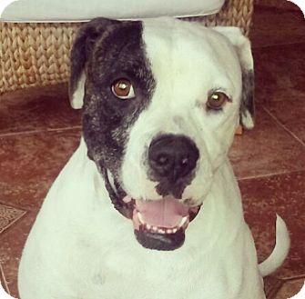 American Bulldog Dog for adoption in Miami, Florida - Luna