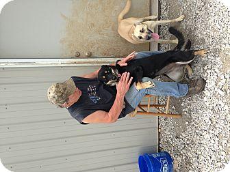 Husky/Labrador Retriever Mix Dog for adoption in Parker, Kansas - Baby