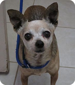 Chihuahua Mix Dog for adoption in Chino Valley, Arizona - Gizmo