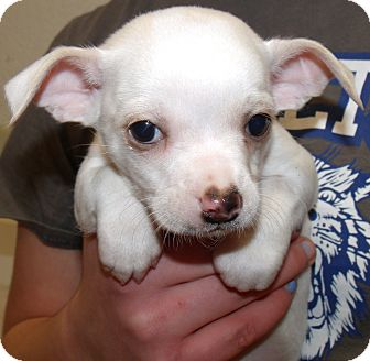 Pomeranian/Chihuahua Mix Puppy for adoption in Corona, California - THREE AMIGOS DOS