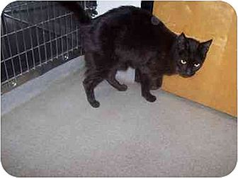 Domestic Mediumhair Cat for adoption in Lavon, Texas - Ink