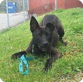 Shepherd (Unknown Type) Mix Puppy for adoption in Greensboro, North Carolina - Tank