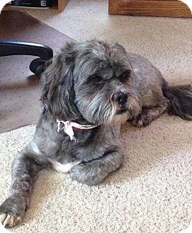 Shih Tzu Mix Dog for adoption in Lakeville, Minnesota - Charlie