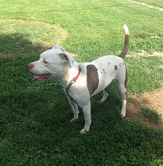 Pit Bull Terrier Dog for adoption in Otterbein, Indiana - Heidi